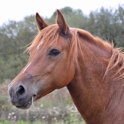 Eigenes Pferd. fuchsfarbenes Pferd im Portrait