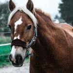Pferd mit gepolstertem Halfter