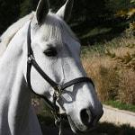 Pferd mit Lederhalfter
