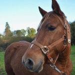Pferd mit Nylon-Halfter