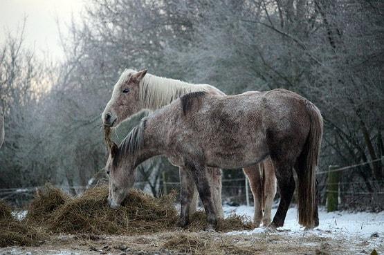 Pferde ohne Pferdedecke im Offenstall