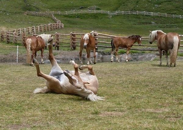 Haflinger Pferd wälzt sich