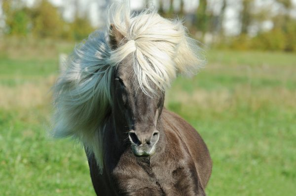 Pony rennt mit fliegendem Pony
