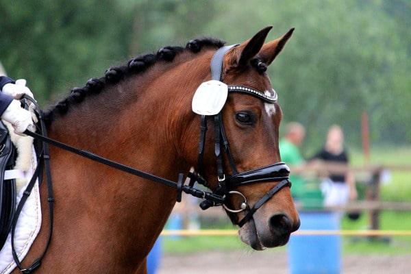 Sperrriemen am Pferd
